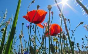 Picture field, the sky, grass, the sun, macro, rays, flowers, Maki, meadow