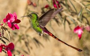 Picture flower, bird, wings, beak, Hummingbird, tail