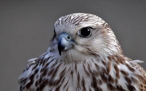Picture look, grey, background, bird, portrait, Falcon