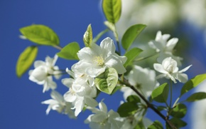Picture macro, nature, branch, spring, Apple, flowering, flowers, bokeh