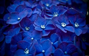 Picture macro, flowers, blue, Petals, a lot