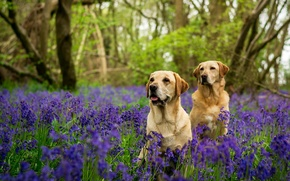 Picture forest, dogs, trees, flowers, two, bells, Labradors