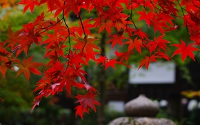 Wallpaper branches, nature, foliage, Japan, garden, maple, red