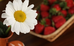 Picture macro, flowers, Daisy, strawberry
