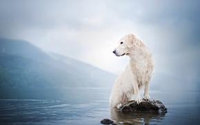 Picture water, fog, lake, stone, dog, Golden Retriever, Golden Retriever