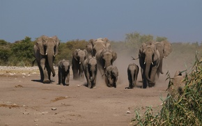 Picture trail, dust, family, elephants, the herd