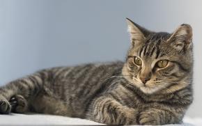 Picture cat, cat, look, portrait