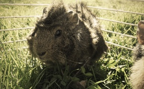 Picture grass, Guinea pig, brown