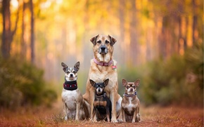 Picture dogs, family, bokeh, Pinscher, Chihuahua, chihuahua, dog family, dog breath, Kaylee Greer, cute dogs