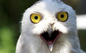 Picture look, owl, white