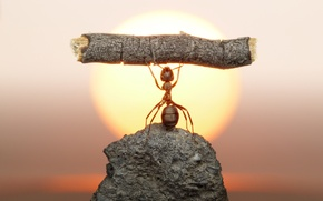 Picture the sun, macro, sunset, stone, ant, insect, log, strongman, Wallpaper from lolita777