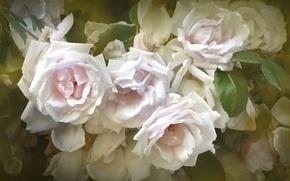 Picture flowers, Bush, roses, petals