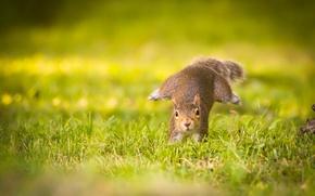 Picture grass, protein, running, running squirrel