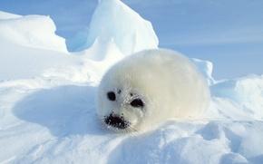 Wallpaper fur, snow, seal, Seal