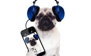 Picture dog, white background, Pug, smartphone, phone, headphones, humor