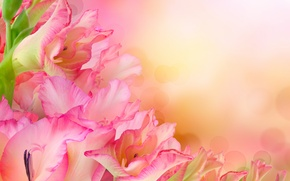 Picture flowers, bouquet, pink gladiolus