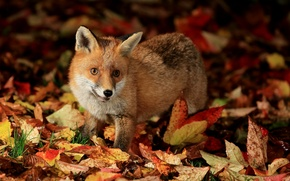 Picture autumn, leaves, Fox, Fox