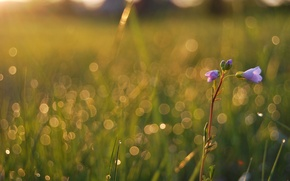Picture field, summer, grass, drops, macro, light, flowers, freshness, Rosa, glare, beauty, plants