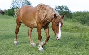 Picture grass, horse, pasture, meadow, Mare