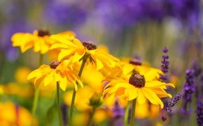 Picture lavender, bokeh, rudbeckia
