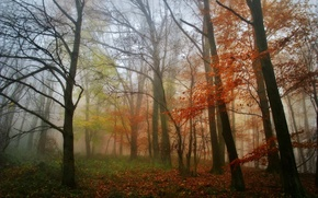 Picture autumn, forest, leaves, trees, fog, morning