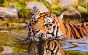 Picture look, water, macro, tiger, animal, predator, swimming