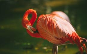 Picture bird, feathers, Flamingo