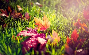 Picture autumn, grass, leaves, drops, macro, light, nature, Rosa, yellow, red, green