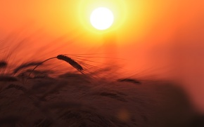 Picture wheat, field, the sky, the sun, light, sunset, nature, plant, ears