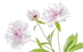 Picture pink, tenderness, peony