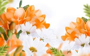 Picture flowers, flowers, white chrysanthemums, white chrysanthemum