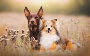 Picture field, dogs, light, nature, pair, puppy, Wallpaper from lolita777, boys