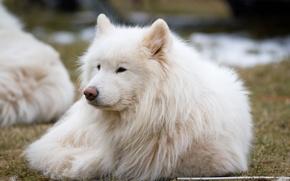 Picture dog, Laika, dog, Samoyed