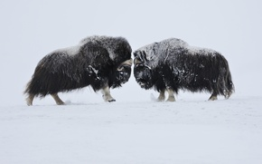 Picture Norway, clash, front the resolution of problems, clarification of interests, February 2009, The musk oxen, ...