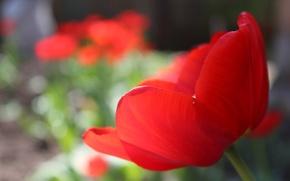Picture macro, red, Tulip, red, macro, Tulip