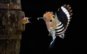 Picture flight, bird, chick, hoopoe, Sony World Photography Awards