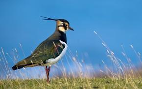Picture the sky, grass, birds, nature, bird, Chibis
