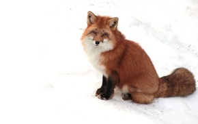 Picture white, face, snow, paws, Fox, tail, ears