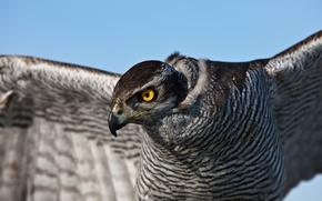 Wallpaper Falcon, feathers, hawk, eyes, bird