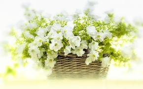 Picture flowers, basket, white, Petunia