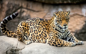 Picture predator, spot, tail, Jaguar