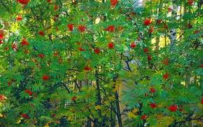 Wallpaper leaves, trees, berries, bunch, birch, Rowan