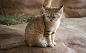 Picture cat, stone, predator, sleeping, wild