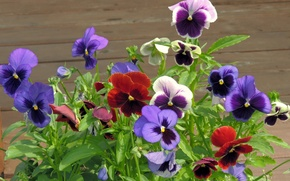 Picture petals, yard, Pansy