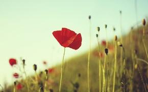 Wallpaper field, flower, summer, grass, macro, red, stems, Mac, plants
