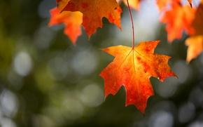 Wallpaper foliage, autumn, branch, macro