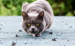 Picture cat, eyes, cat, look, grey, green, sitting