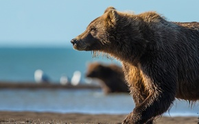 Picture bear, river, the Bruins