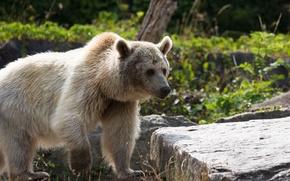Picture face, bear, fur