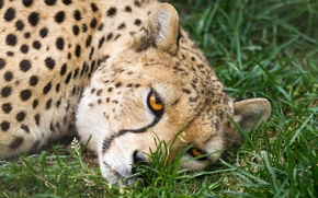 Picture cat, grass, look, face, Cheetah
